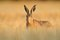 Stock Image : Hare in the Cornfield