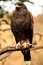 Stock Image : Harris Hawk