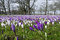 Stock Image : Harrogate Crocuses
