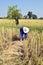 Stock Image : Harvest rice in rural,