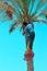 Stock Image : Harvesting dates palm