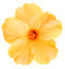 Stock Image : Hawaiian Yellow Hibiscus isolated on white