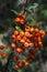 Stock Image : Hawthorn fruits