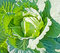 Stock Image : Head Cabbage background