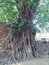 Stock Image : Head of Sandstone Buddha in The Tree Roots at Wat Mahathat, Ayut