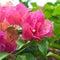 Stock Image :  Het mooie rode bloem bloeien