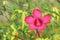 Stock Image : Hibiscus