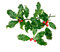 Stock Image : Holly, ilex, with berries, on white.