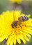 Stock Image : Honey bee on a dandelion