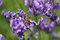 Stock Image : Honey bee on lavender flower. Honey bee is collecting pollen.