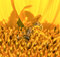 Stock Image : Honey Bee