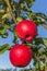 Stock Image : Honeycrisp Apple