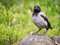 Stock Image : Hooded Crow