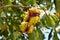 Stock Image : Horse chestnut tree