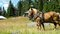Stock Image : Horses