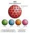 Stock Image :  HPV (papillomavirus humano)
