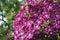 Stock Image : Huge purple Clematis