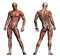 Stock Image : Human Anatomy - Male Muscles