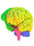 Human brain anatomy model with coloured regions