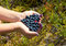 Stock Image : Human hands holding a handful of blueberries with one cowberry