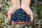 Stock Image : Human hands holding a handful of blueberries in the shape of a h