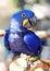 Stock Image : Hyacinth maccaw