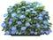Stock Image : Hydrangea macrophilla-blue