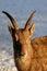 Stock Image : Ibex