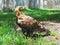Stock Image : Imperial Eagle (Aquila heliaca)