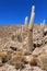 Stock Image : Incahuasi cactus