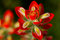 Stock Image : Indian Paintbrush macro.