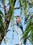 Stock Image : Indian roller bird