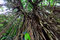 Stock Image : Indian Rubber Tree