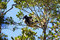 Stock Image : Indri Indri canopy