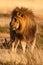 Stock Image : Injured lion