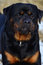 Intelligent placid Rottweiler portrait