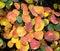 Stock Image : Irgun, Amelanchier, Bermula, Kozinka, Amelanchier in autumn