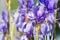 Stock Image : Iris
