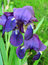 Stock Image : Iris flowers