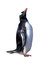 Stock Image : Isolated gentoo penguin