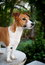 Stock Image : Jack Russel