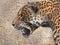 Stock Image : Jaguar