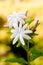 Stock Image : Jasmine flower
