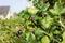 Stock Image : Jostaberry  (Ribes x nidigrolaria)