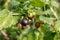Stock Image : Jostaberry (Ribes x nidigrolaria).