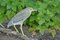 Stock Image : Juvenile Black Crowned Night Heron