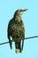 Stock Image : Juvenile common starling