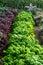 Stock Image : Kale