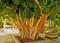 Stock Image : Kiwi tree trunk