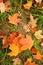 Stock Image :  Kleurrijke esdoornbladeren